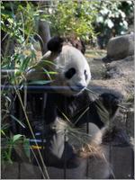 Panda_ueno110401